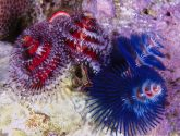March 2016 Challengers - Feather Dusters/Christmas Tree Worms