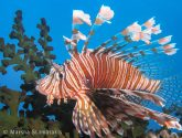 January 2018 Challengers - Lionfish