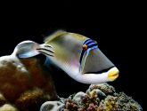April 2018 Masters - Triggerfish and Filefish