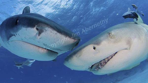 Sharks-Abernethy