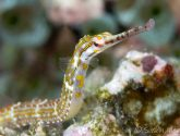 March 2019 Masters - Pipefish & Pipehorses