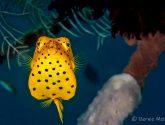 August 2019 Challengers - Polka Dot Fish