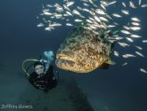 November 2019 Challengers - Goliath Groupers