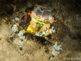 January 2020 Challengers - Decorator Crabs