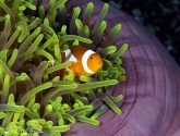 May 2020 Challengers - Anemones And Their Inhabitants