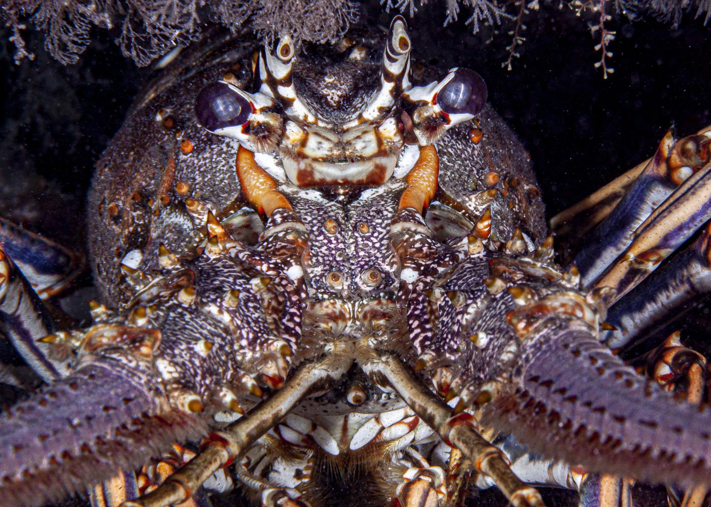 lobsterportrait