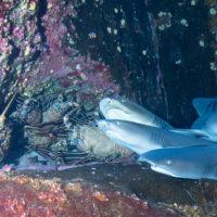 lobsters versus sharks the showdown