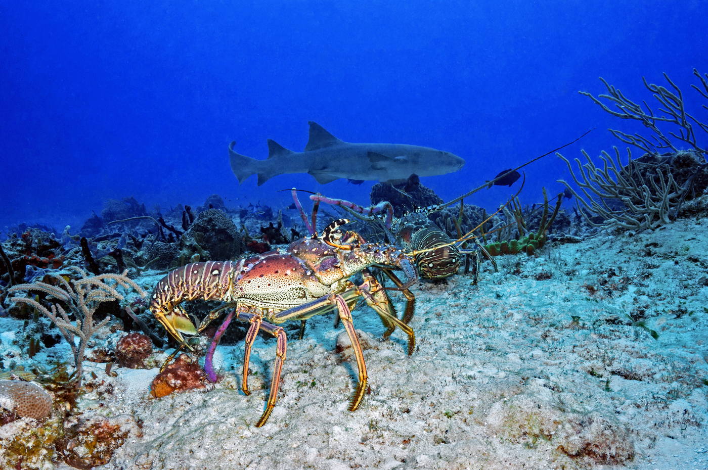 spiny lobsters and shark