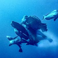 bumphead spawning