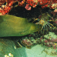 lobster catches moray on turtle