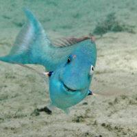 happy parrotfish