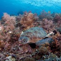 coral triangle green turtle