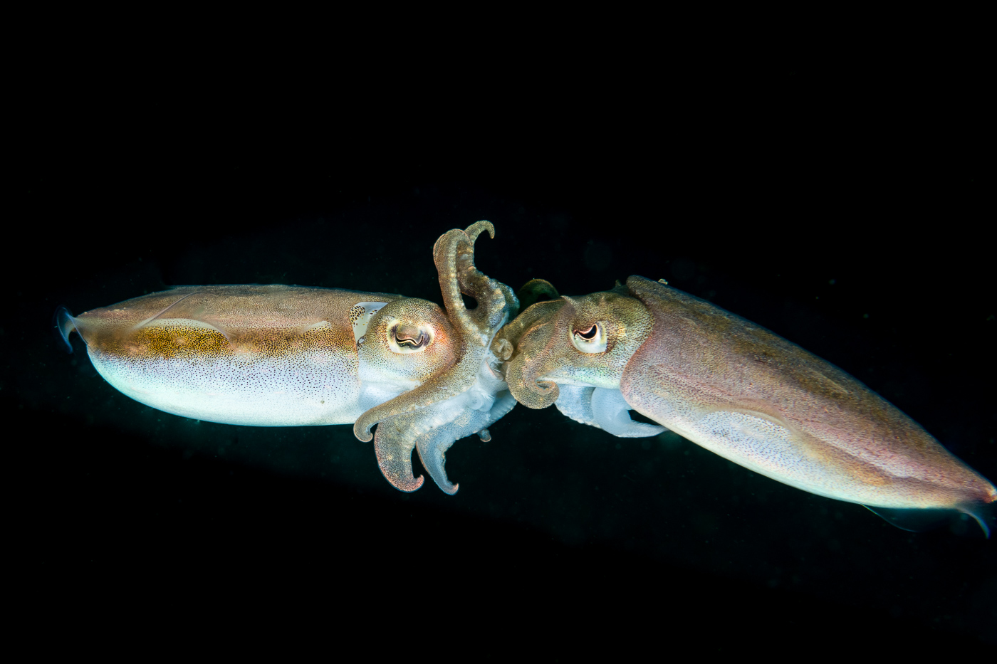 a new generation of cuttlefish coming