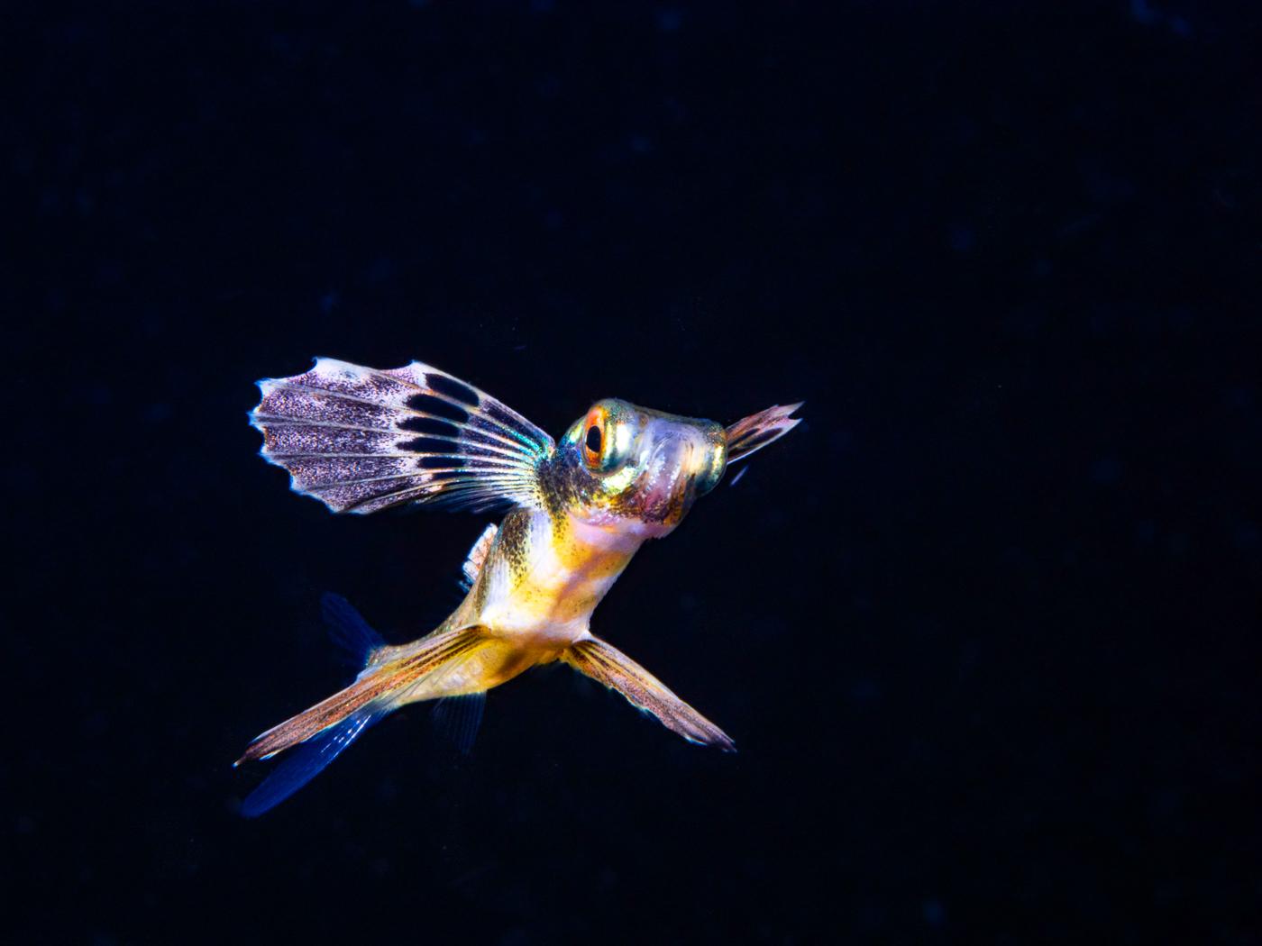 blackwater wings