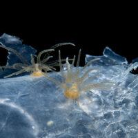 anemone field