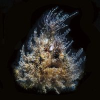 fantastic fred the frogfish