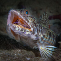 lizardfish at the cleaning station