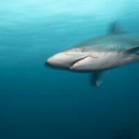 artsy shark