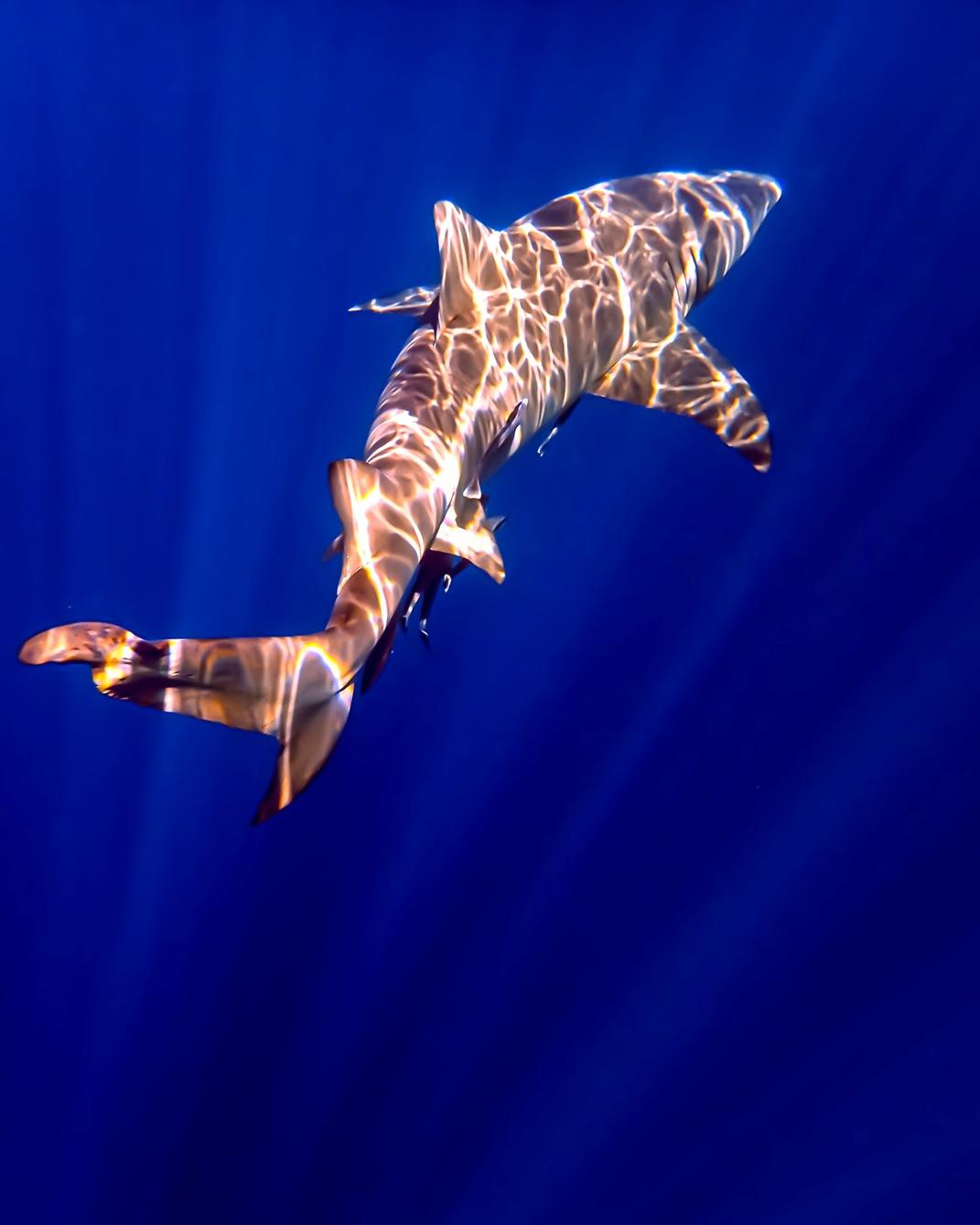 sun shark