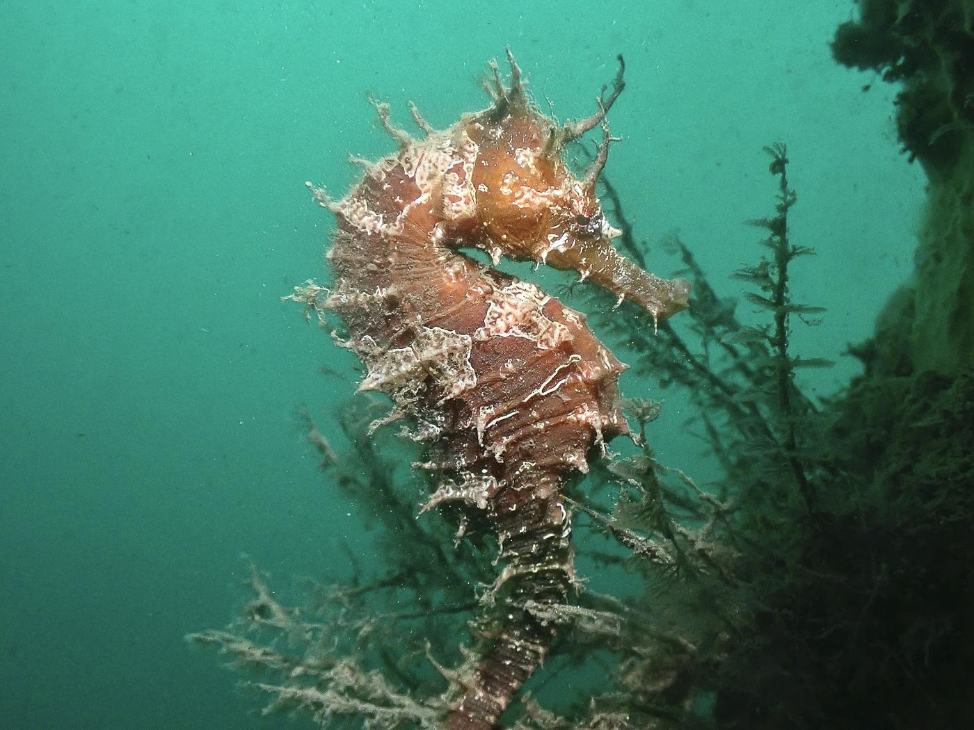 seahorse sweetness