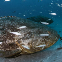goliath grouper on a flyby
