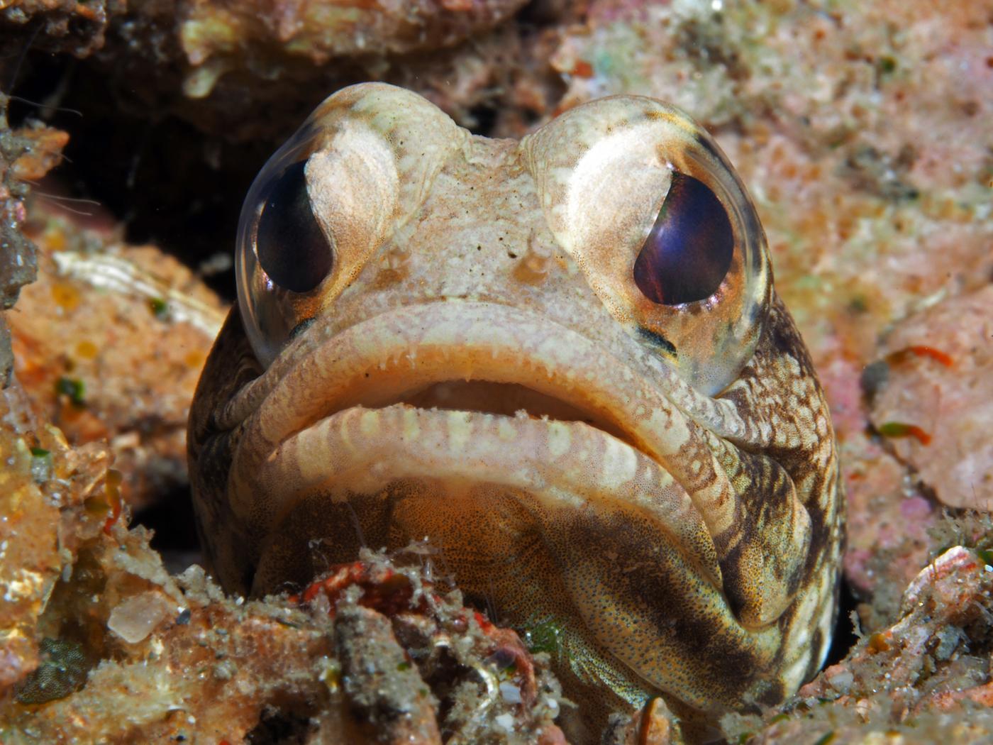 sweet face jawfish
