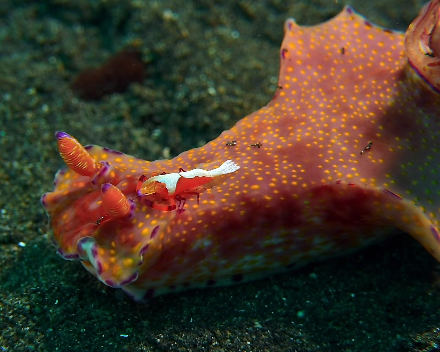 ceratosoma with shrimp