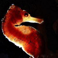 spooky seahorse